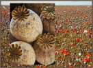 © Malcolm Walker  <em>Poppies grown under licence in UK</em>