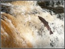 © Rod Smith  <em>Salmon Jumping</em>