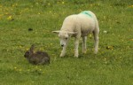 © Elaine Ward  <em>Sheep and rabbit 6</em>
