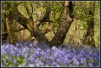 © Rod Smith  <em>Bluebells 1</em>