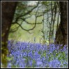 © Rod Smith  <em>Bluebells 2</em>