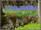 © Rod Smith  <em>Bluebells 3</em>