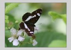 © David Crutchley  <em>White Admiral</em>