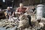 © John Bentley  <em>Shearing at Hoggarths Farm</em>