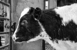 © Peter Robinson  <em>Calf Waiting</em>
