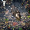 © Margaret Smith  <em>Duckling in Debris</em>