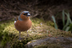 © Peter Robinson  <em>Chaffinch...1st attempt with remote control</em>