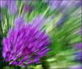 © Margaret Smith<em>Purple Sensation</em>