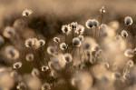 © Tim Fearon<em>Cotton grass</em>