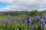 © Elaine Ward  <em>Bluebells again</em>