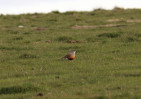 © Jonathan Heath  <em>Rare Sighting: Dotterel on Calton Moor</em>