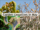 © Margaret Smith  <em>Garden Casualties of May</em>