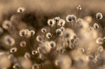 © Tim Fearon  <em>Cotton grass</em>