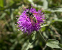 © Gill Pinkerton  <em>Hoverfly on knapweed</em>