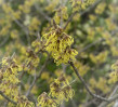 © Gill Pinkerton  <em>Witch Hazel -a Touch of Spring</em>