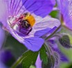 © Chris Chandler  <em>Bumble bee on cranesbill</em>